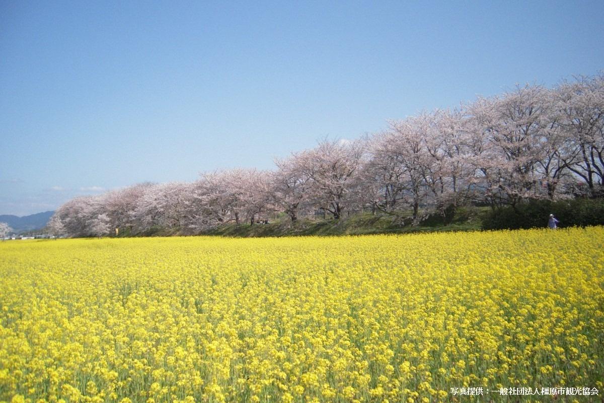 青春18きっぷで行く日帰り旅モデルコース藤原宮跡の桜と菜の花